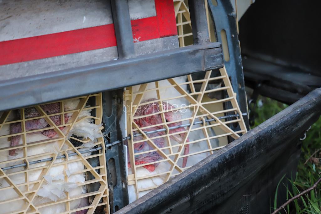 Tiertransport-Anhänger mit Puten kippt auf der Autobahn 45 um